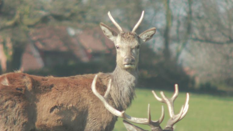 Deer_Stare_01