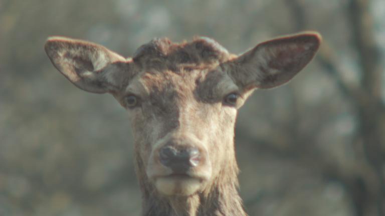 Deer_Stare_03